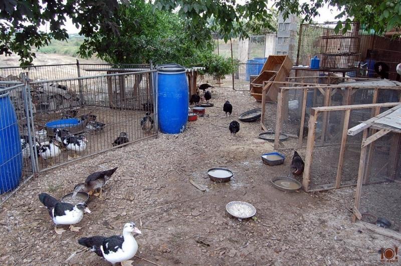patos, gallinas y pavos
